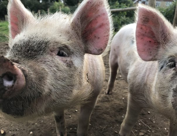 Friendly pigs